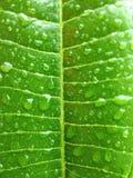 grünes Blatt mit Tropfenwasser Lizenzfreies Stockbild