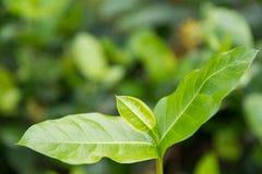 Grünes Blatt mit unscharfem Grün Lizenzfreies Stockbild