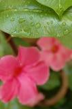 Grünes Blatt mit Wasser fällt mit rosa Blume Natürlich und organi Stockbild