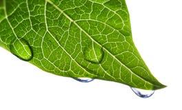 Grünes Blatt mit Wasser-Tröpfchen Stockbild