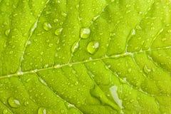 Grünes Blatt mit Wassertröpfchen lizenzfreie stockfotografie