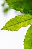 grünes Blatt mit Wassertropfen Stockbilder