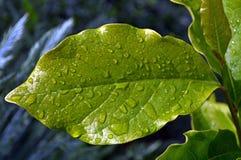 grünes Blatt mit Wassertropfen Stockfotos