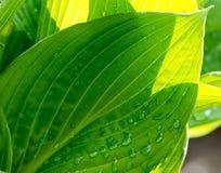 Grünes Blatt mit Wassertropfen im Sonnenscheinbeschaffenheits-Hintergrundabschluß oben Lizenzfreie Stockbilder