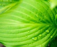 Grünes Blatt mit Wassertropfen im Sonnenscheinbeschaffenheits-Hintergrundabschluß oben Stockfotografie
