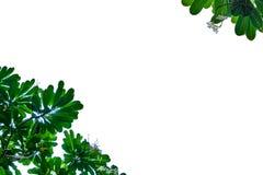 Grünes Blatt mit weißem Hintergrund Stockfotografie