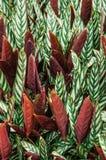 Grünes Blatt mit weißen Streifen von Calathea-majestica, tropisches f stockfotos