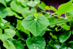 Grünes Blatt nach rainny Tag Stockfotografie