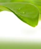 Grünes Blatt und ein Regentropfen Stockbild