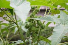 Grünes Blatt und Frucht Lizenzfreie Stockbilder