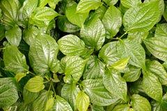 Grünes Blatt von Chaplo Lizenzfreies Stockbild