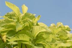 Grünes Blatt von Pisonia Stockfotos
