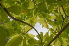 Grünes Blatt von Pisonia Stockbild