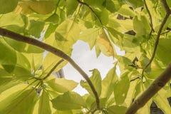 Grünes Blatt von Pisonia Stockbilder