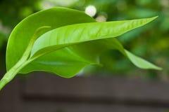 Grünes Blatt, Weichzeichnung Stockbilder