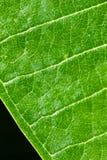 Grünes Blatt, welches die Ader lokalisiert auf schwarzem Hintergrund, Nahaufnahme zeigt Stockbilder