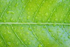Grünes Blattbeschaffenheitsdetail Stockfoto