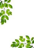 Grünes Blattfeld getrennt Lizenzfreie Stockbilder
