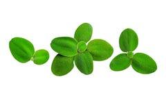 Grünes Blattisolat auf weißem Hintergrund Stockfoto