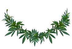 Grünes Blattisolat der Ringelblume oder des Calendula Lizenzfreies Stockbild