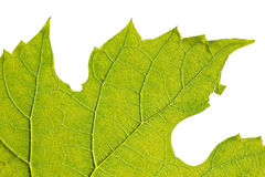 Grünes Blattmakro Stockbild