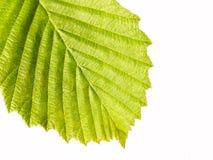 Grünes Blattmakro des Hintergrundes Lizenzfreie Stockbilder