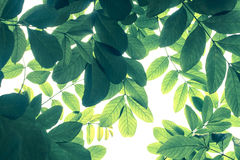 Grünes Blattmuster im kalten Ton auf weißem Hintergrund, Naturkreatin Stockfoto