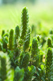 Grünes Blumengras auf dem Gebiet Lizenzfreies Stockfoto