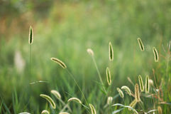 Grünes Borstegras 3 Stockfotografie
