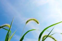 Grünes Borstegras, -wolken und -himmel Lizenzfreies Stockbild