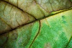 Grünes braunes Makro des Blattes Stockbilder