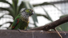 Grünes Budgie auf Wand an Vogel Kindgom-Vogelhaus in Niagara Falls, Kanada Lizenzfreie Stockfotos