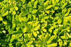 Grünes Busch pittosporum mit Blumentobira Nana lizenzfreies stockbild