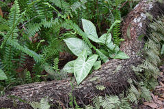 Grünes Caladuins auf einem Klotz Stockfotografie