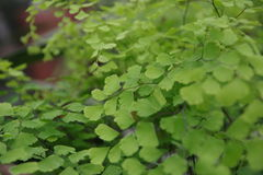 Grünes capilliaire Lizenzfreie Stockfotos