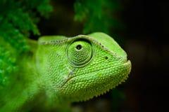 Grünes Chamäleon Stockfotografie