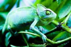 Grünes Chamäleon Stockfotos