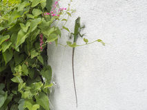 Grünes Chamäleon auf einer weißen Wand Stockfotos