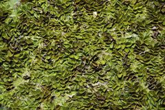 Grünes Creepe lizenzfreie stockfotografie