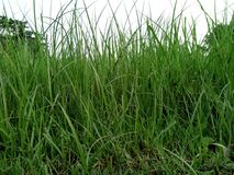 Grünes dünnes u. langes Gras lizenzfreie stockbilder