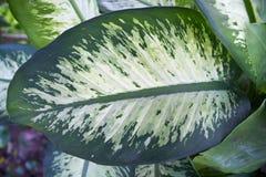 Grünes Dieffenbachia-Blatt stockbilder