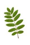Grünes Eberescheblatt auf Weiß. Stockfotografie