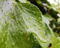 Grünes Efeublatt mit Regentropfen im Garten Stockbilder