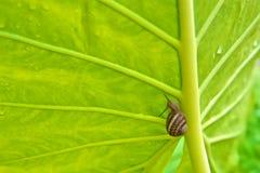 Grünes Elefantenohr-Blatt mit Schnecke Stockbild