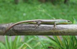 Grünes exotisches Reptil Stockfotografie