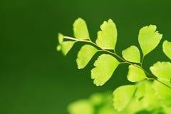 Grünes Farnblatt Stockfotografie