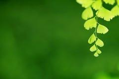 Grünes Farnblatt Stockbilder