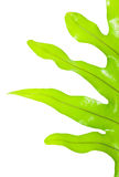 Grünes Farnblatt auf einem weißen Hintergrund Lizenzfreies Stockfoto