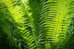 Grünes Farnblatt der Nahaufnahme im formalen Garten Stockfoto