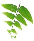 Grünes Farnblatt getrennt auf Weiß Stockfoto